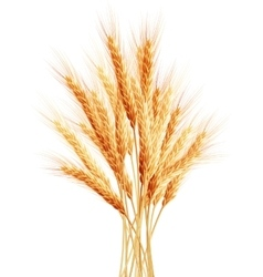 Stalks of wheat ears EPS 10 vector