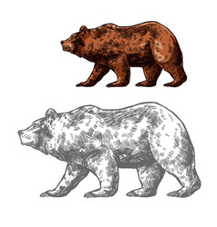 bear animal sketch of walking brown grizzly vector image vector image