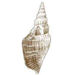 engraving strombus listeri seashells vector image