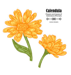 calendula flowers on white vector image