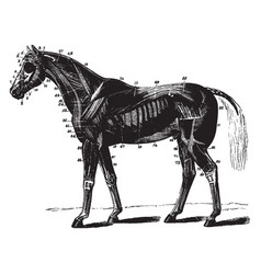 Superficial muscles of the horse vintage vector