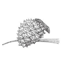Torrey pine cone vintage vector