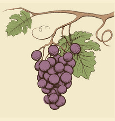 bunch of grapes with leaves vector image