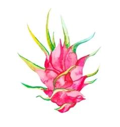 Pitaya isolated Tropical vector image