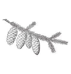 Red spruce pine cone vintage vector