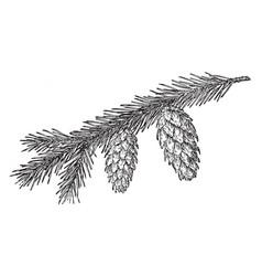 Engelmann spruce pine cone vintage vector