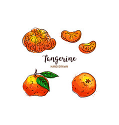 tangerine drawing hand drawn mandarin vector image