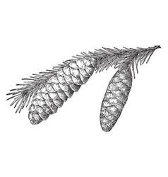 Brewer spruce pine cone vintage vector