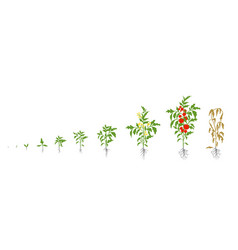 Tomato plant growth stages vector