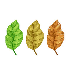 three tobacco leaves with veins vector image