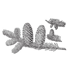 Pine cone of fraser fir vintage vector
