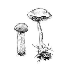 hand drawn birch bolete mushroom vector image