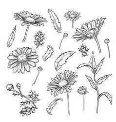 Hand drawn elegant chamomile flowers vector
