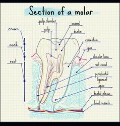 Zub vector