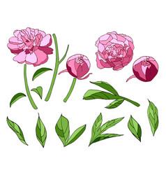 pink peony elements set vector image