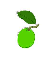 hand drawn lime fruit in vintahe style vector image
