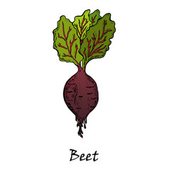 hand drawn of a red beet with leaves vector image