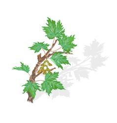 Maple-branch- vector