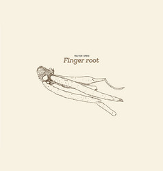 Finger root or krachai hand draw sketch vecotr vector