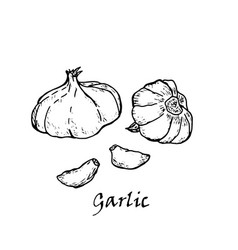 hand-drawn of two garlic vector image