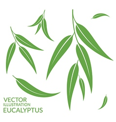 Eucalyptus Isolated leaves on white vector image vector image