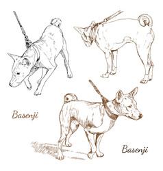 basenji vector image
