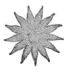Cryptozonate asterid vintage vector