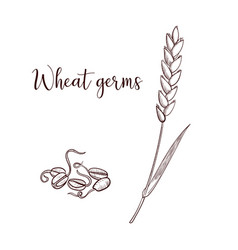 Drawing wheat germs vector