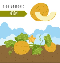 Gardening work farming Melon Graphic template Flat vector
