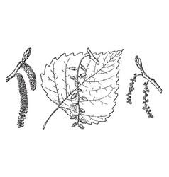 Branch of eastern cottonwood vintage vector