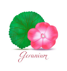 geranium flower and leaf in realistic style vector image
