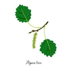 drawing branch aspen tree vector image