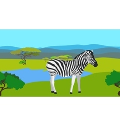 Zebra in the field with green grass horisontal vector image