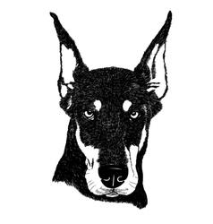 Doberman pinscher dog portrait in vector image vector image