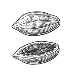 Fruits of cocoa beans vintage engraved vector image