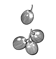Grape drawing engraving ink line vector