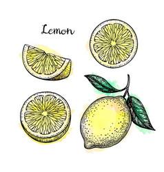 Sketch of lemon vector