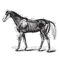 Neck muscles of the horse vintage vector