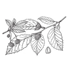 Branch of fagus americana vintage vector