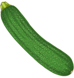 Fresh zucchini or courgette vector