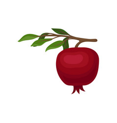red pomegranate hanging on small branch with green vector image