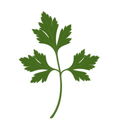 Green fresh parsley leaf isolated on white vector