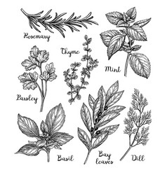 Ink sketch herbs vector