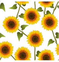 orange yellow sunflower on white background vector image