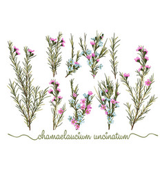 set of botanic floral elements chamaelaucium vector image