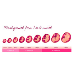 embryo development infographics pregnancy vector image