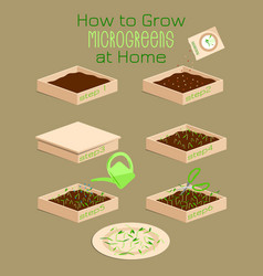 Infographic how to grow microgreens at home six vector
