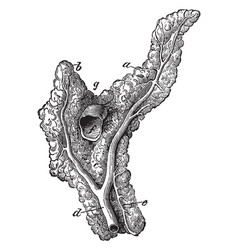 Pancreas of a horse vintage vector