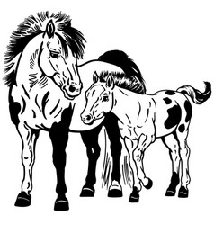 Shetland pony mare with foal black and white vector