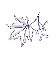 Drawing branch maple tree vector